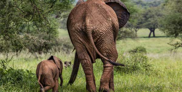 African Elephants International Elephant Foundation