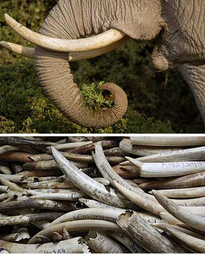 Elephant Interesting Facts International Elephant Foundation