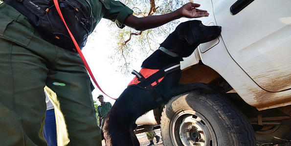 Protecting Elephants through Conservation Detection Dog Network
