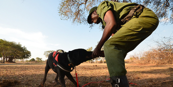 Expansion of the DNPW/CLZ detection and tracking dog unit, Lower Zambezi