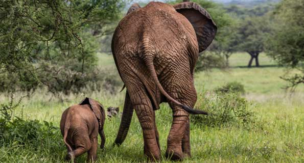 Protecting Elephants of Kibale National Park- Uganda