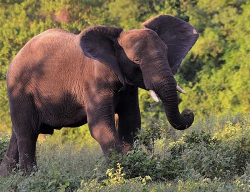 Relevancy of African & Asian Elephants, Zoological Facilities