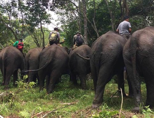 Conserving Elephants in Nepal on the COVID-19 Context