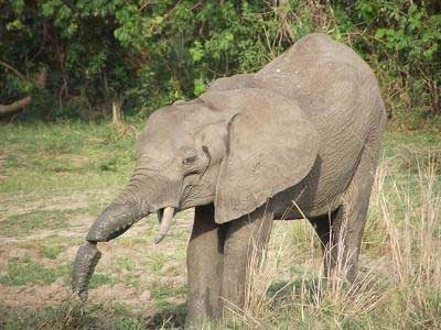 Elephant injured by snare in Murchison Falls, Uganda