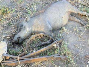 Warthog killed by snare