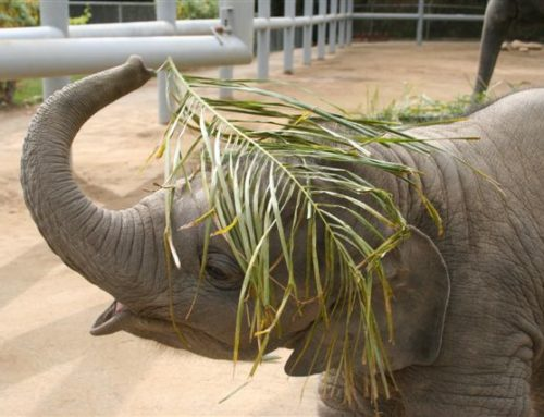 Noninvasive EEHV Detection in Semi-Captive and Free-Ranging Asian Elephants