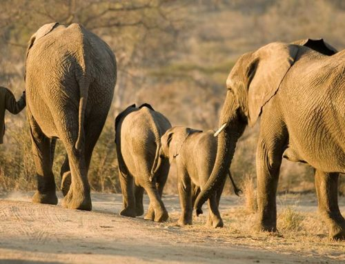 Elephant utilization of the Kaifeng-Zambezi Wildlife Corridor of KAZA TFCA