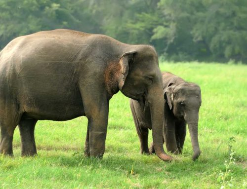 Musth Variation Among Asian Elephants (Elephas maximus): Applications for Conservation