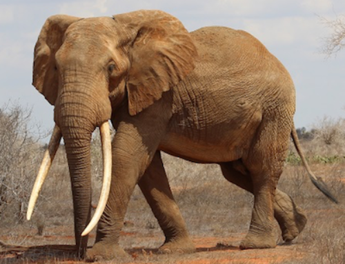 Big Tusker Project, Kenya