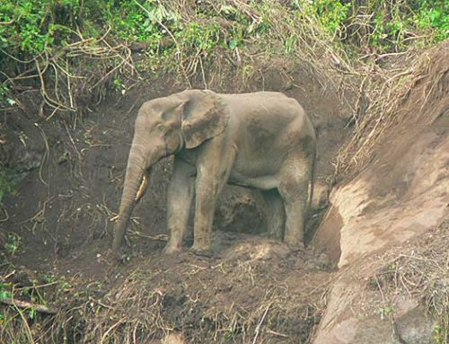 Elephant Monitoring and Conservation in Volcanoes National Park, Rwanda