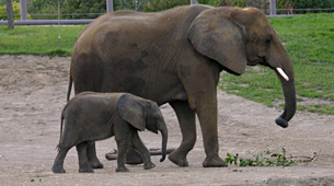 Archived African Elephant Project